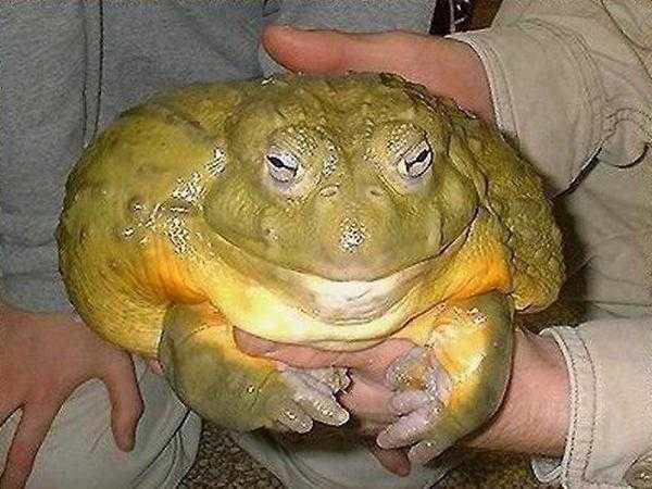 Самые большие жабы в украине фото